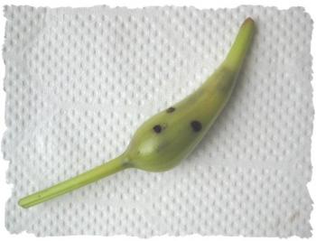 虫が付いた未熟なハマユウの実