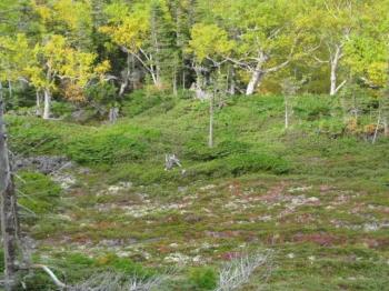 大雪山系の紅葉・黄葉