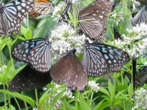 ヨツバヒヨドリバナの蜜を吸う蝶たち5