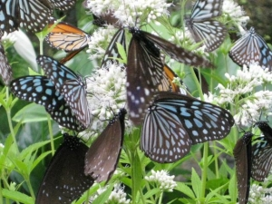 ヨツバヒヨドリバナの蜜を吸う蝶たち6