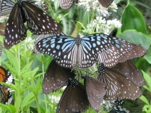 ヨツバヒヨドリバナの蜜を吸う蝶たち7