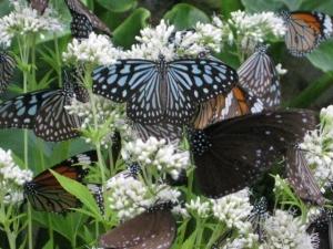 ヨツバヒヨドリバナの蜜を吸う蝶たち8