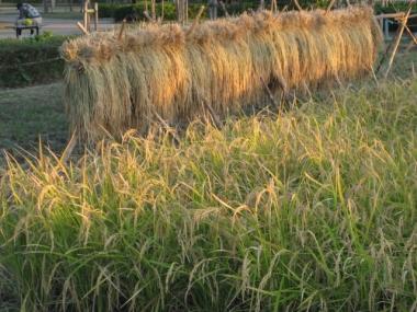 稲と稲掛け,米作り体験田