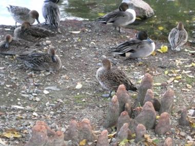 ラクウショウの呼吸根(気根)と水鳥たち-3