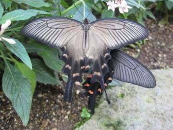 ジャコウアゲハ交尾,上は雌