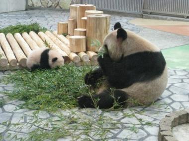 竹・竹の葉を食べるパンダ親子