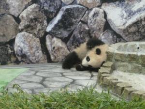 赤ちゃんパンダ優浜