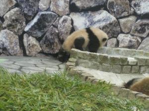 赤ちゃんパンダ優浜寝床へ
