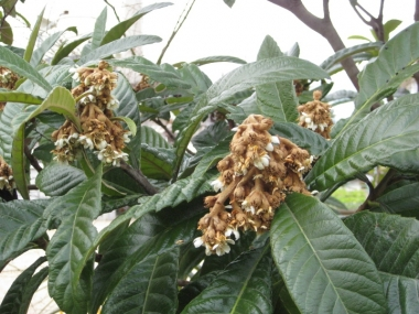 枇杷の花2