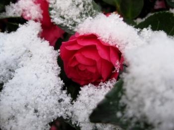 シシガシラに積もった雪