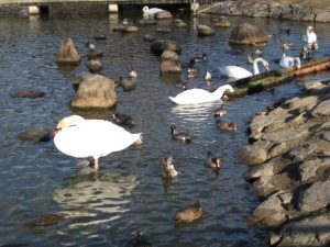 給餌池の水鳥たち