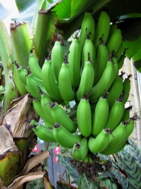 チョウ温室で実ったバナナ1/30