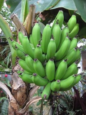 チョウ温室で実ったバナナ3/20