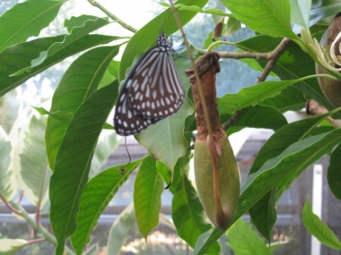 ウツボカズラ捕虫袋,蝶