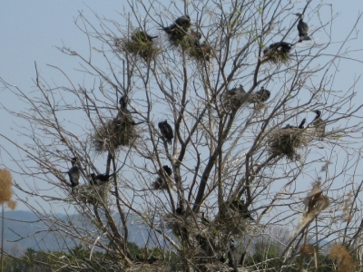 カワウの巣づくり