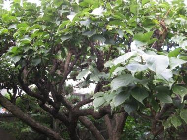梅の木,白梅