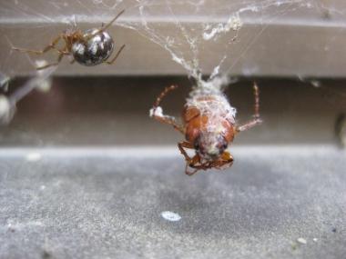 オオヒメグモ獲物をゲットの写真3