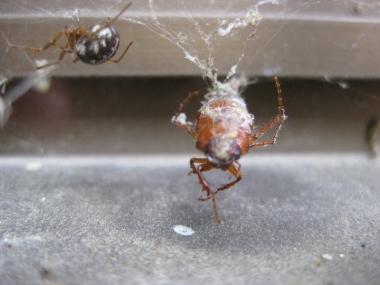 オオヒメグモ獲物をゲットの写真4