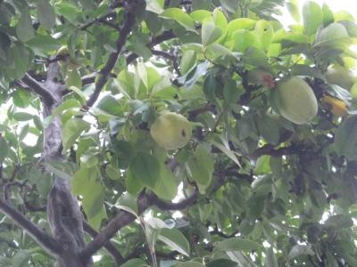 カリンの木と実