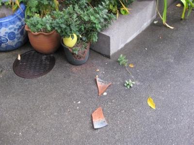 カリンの実が植木鉢に落下