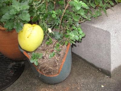 カリンの実が植木鉢に直撃