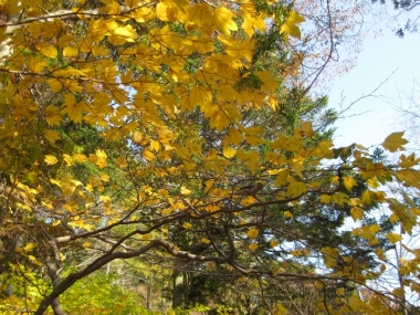 シロモジ黄葉