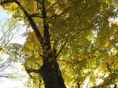 カナクギノキ黄葉