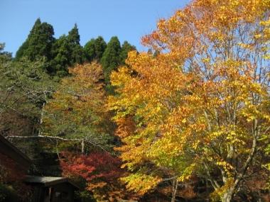 西入口,イヌブナ黄葉,サラサドウダン紅葉