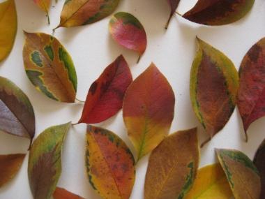 色とりどりのカリンの落葉1
