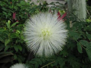 カリアンドラ白花