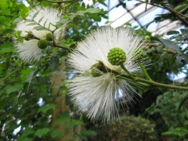 カリアンドラ白花と蕾