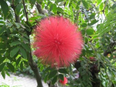 カリアンドラ赤花