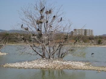 落葉の木に巣づくりしているカワウ