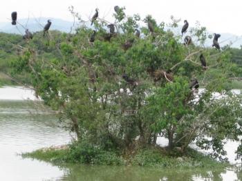 小島の木とカワウたち