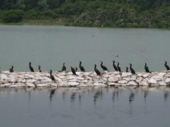 給餌池堤防に並んだカワウ