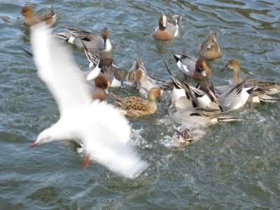 飛ぶユリカモメ,逆立ちで水中のパンをとるカモ