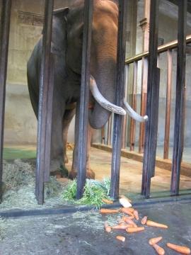 人参を食べる象マック