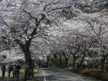 桜並木,桜のトンネル
