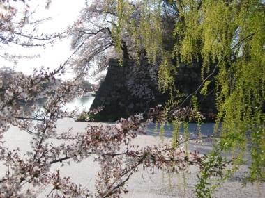 中濠の花筏,桜と柳