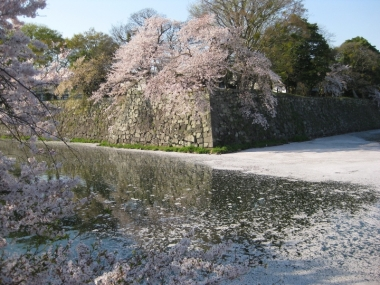 中濠石垣の桜,中濠の花筏