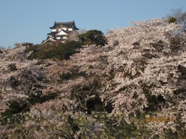 彦根城天守と桜