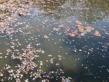 植物園の池の水面に花屑