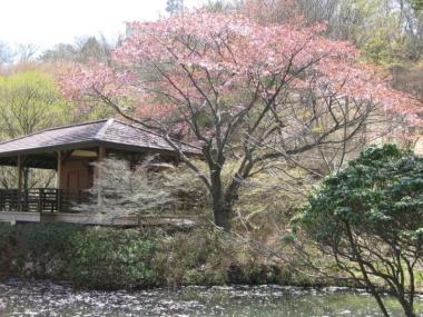 六甲高山植物園のオオヤマザクラ