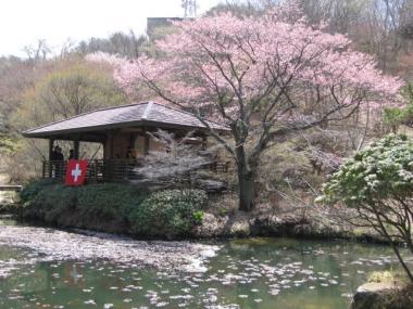 六甲高山植物園のオオヤマザクラ1