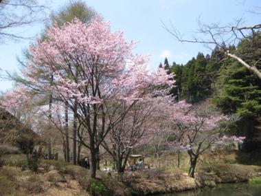 六甲高山植物園のオオヤマザクラ2