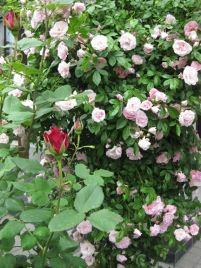 赤い薔薇 蕾