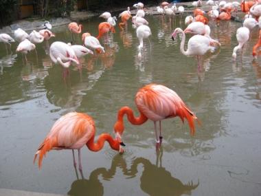 フラミンゴ池のフラミンゴ