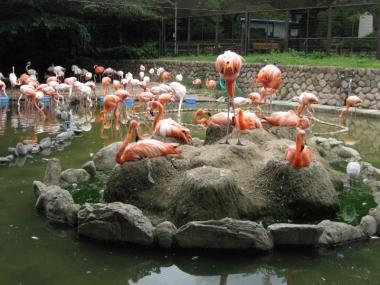 フラミンゴ池,抱卵中のフラミンゴ