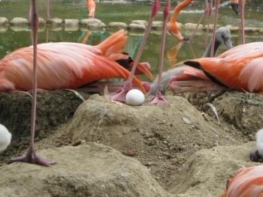 抱卵中のフラミンゴと卵2