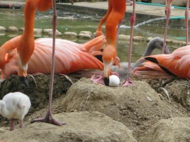 抱卵中のフラミンゴと卵3